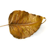 Isolated dried leaf Royalty Free Stock Photos