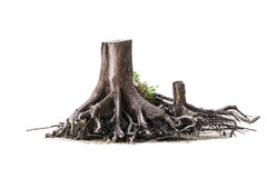Isolated dried tree Royalty Free Stock Image