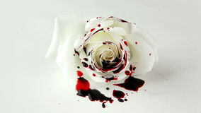 Isolated Dripping Blood on White Rose