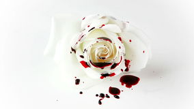 Isolated Dripping Blood on White Rose stock video footage