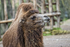 Isolated Dromedar Camel Stock Images