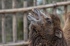 Isolated Dromedar Camel Royalty Free Stock Photography
