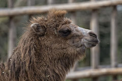 Isolated Dromedar Camel Stock Image