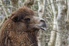 Isolated Dromedar Camel Stock Photography