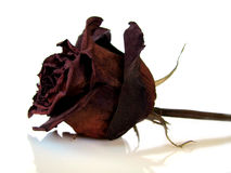 Isolated Dry Rose Royalty Free Stock Images