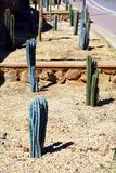 Isolated dry thorns green cactuses with thorns, on sand Royalty Free Stock Photos