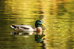 Isolated duck enjoying autumn Royalty Free Stock Photos