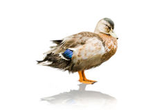 Isolated Duck. The isolated picture of a duck Stock Photography