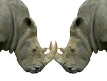 Isolated dueling Rhinos with locked horns Royalty Free Stock Image