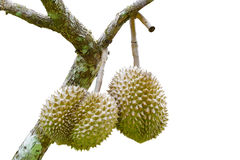Isolated Durians with tree Royalty Free Stock Photography