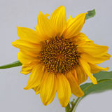 Isolated dwarf sunflower plant Royalty Free Stock Images