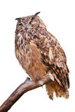 Isolated eagle owl. An isolated eagle owl(Bubo bubo) is perching on the trunk in white background royalty free stock photos