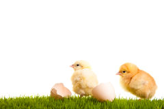Isolated easter eggs and chickens on green grass Royalty Free Stock Images