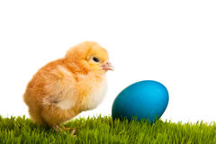 Isolated easter eggs and chickens on green grass Royalty Free Stock Photos