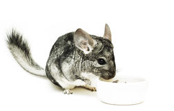 Isolated eating chinchilla Royalty Free Stock Image