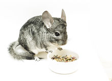 Isolated eating chinchilla Stock Images
