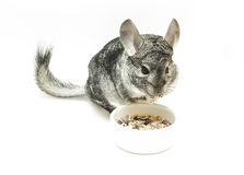 Isolated eating chinchilla Royalty Free Stock Photos