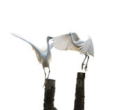 Isolated egret Stock Photography