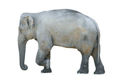 Isolated elephant. Idolated indian elephant  of profile Royalty Free Stock Photography
