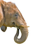 Isolated Elephant Stock Photo