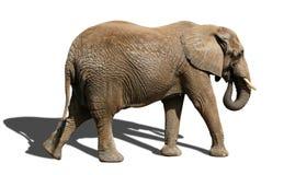 Isolated elephant. Whole elephant isolated on white background with shadow Stock Image