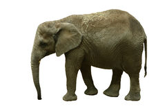Isolated Elephant Royalty Free Stock Images