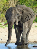 An Isolated Elephant having a drink at Makololo camp waterhole with a brilliant blue sky. Large elephant stopping for a drink at the camp waterhole in Makololo stock images