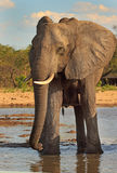 An Isolated Elephant having a drink at Makololo camp waterhole with a brilliant blue sky. Large elephant stopping for a drink at the camp waterhole in Makololo stock photo