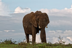 Isolated Elephant looking cautious Stock Images