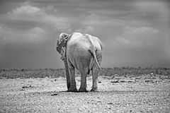 An isolated elephant standing on the Etosha plains in black & white. An isolated elephant standing on the Etosha plains with a dramatic background in mono stock photography