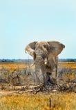 Isolated elephant standing on the Etosha plains Stock Photos