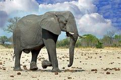 Isolated Elephant walking across the plains Stock Photos