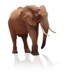 Isolated elephant on white background. Isolated african elephant on white background royalty free stock images