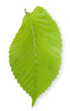Isolated Elm Leaf Royalty Free Stock Image