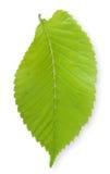 Isolated Elm Leaf. Single isolated green Elm leaf Royalty Free Stock Image