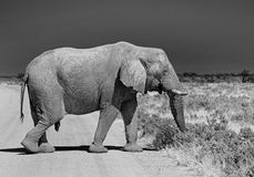 Isolated Elphant walking across a track road. Lone elephant walking across a dusty track in Etosha national park in Mono Royalty Free Stock Images