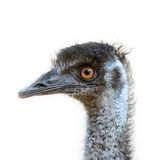 Isolated Emu head Royalty Free Stock Images