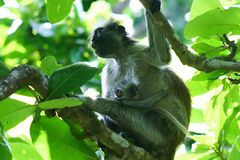 endangered red colobus monkey Piliocolobus, Procolobus kirkii mother with baby in the trees of Jozani Forest, Zanzibar royalty free stock photo