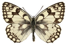 Isolated Esper's Marbled White butterfly Stock Photo
