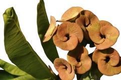 Isolated Euphorbia Stock Photo