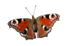 Isolated European Peacock butterfly (Inachis io) Stock Photography