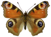 Isolated European Peacock butterfly Stock Image