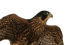 Isolated Falcon in fly Royalty Free Stock Image