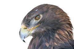 Isolated Falcon in fly Stock Photo