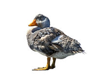 Isolated falkland steamer duck over white Royalty Free Stock Images