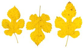 Isolated fall leaves on white background. Royalty Free Stock Photography