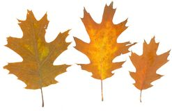 Isolated fall leaves on white background. Stock Photos