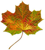 Isolated fall maple leaf. Royalty Free Stock Images