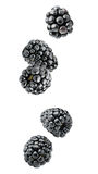 Isolated falling blackberries Stock Photos