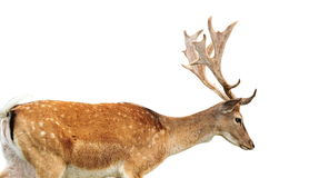 Isolated fallow deer stag stock photos
